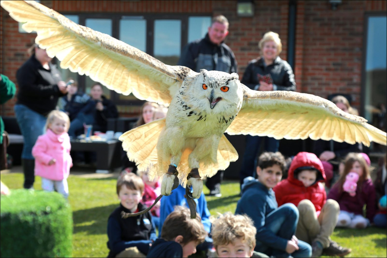 An eagle owl flies at Hamptworth Golf and Country Club open day to mark the official opening of Barny's bar and restaurant.